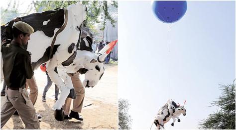 jaipur-cow-759